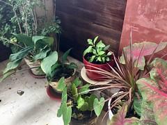 (adlaw) Tags: dracaena marginata colorama cultivar gabigabi anthurium kalipay sabungai caladium spathiphyllum peacelily