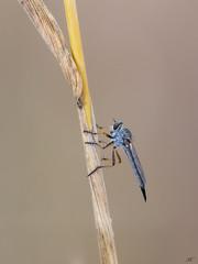 Predator (Ekaitz Arbigano) Tags: ekarbig ekaitz arbigano euskadi basque country robber fly mosca asilidae macro 11 wild nature robberfly de caballo predator
