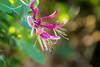 Chèvrefeuille - Honeysuckle - Madreselva (Kaya.paca) Tags: chevrefeuille fleur flowers couleurs extérieur septembre été insecte nature bokeh soleil sun