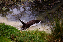IMG_2180 (TvdMost) Tags: bwc britishwildlifecentre eurasianotter europeanotter europeseotter lutralutra visotter otter