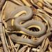 Graham's Crayfish Snake, Juvenile