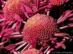 Sometimes I wonder — if I were drop-dead handsome.... (itucker, thanks for 2.6+ million views!) Tags: pink hppt macro bokeh dukegardens purplesprings chrysanthemum mum