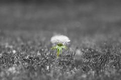 Lwenzahn (Hamanataco) Tags: wiese blume lwenzahn gras sommer pusteblume