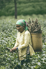 Tea-picker (Sin_Nguyễn) Tags: dalat vietnam teapicker