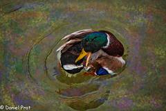 Aseo (dapray) Tags: geostate geocountry pato estanque parque aseo plumas ondas color agua animal anade topaz colour catalonia spain