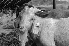 Billy (Shutter Photography & Hot Rod Images) Tags: pa goat lycomingcounty farmanimals canon50d livestock bw