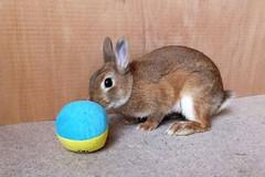Ichigo san 488 (mensore) Tags:  rabbit bunny netherlanddwarf brown ichigo