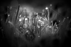 gather (joy.jordan) Tags: grass dew texture lines bokeh light monochrome community hmbt
