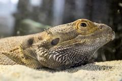Australische Bartagame (JuliSonne) Tags: agame bartagame australien reptil schuppentier schuppen streifen kriechtier