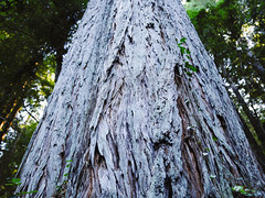 Phase One Test Shot (Robert Windel) Tags: phaseone xf schneiderkreuznach nature tree redwood norcal handheld