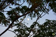 Lune gibbeuse dans le ciel algérois (Ath Salem) Tags: algérie algeria moon lune flou zoom croissant crescent nikon d5200 nikkor 55200mm gibbeuse gibbous الهلال قمر الجزائر nature ciel sky طبيعة سماء blur arbre tree