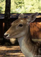 daim (Pixmalo) Tags: animal zoologie nikon d5300 daim deer
