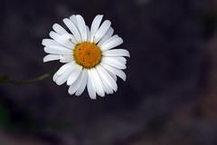 Every flower must grow through dirt (katjacarmel) Tags: nature bloem daisy white purple yellow macro closeup