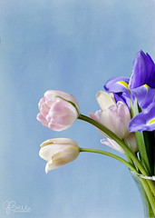 watercolor vase (photolvr35) Tags: blue controlledlighting tulips pink therapy flowers vase canon
