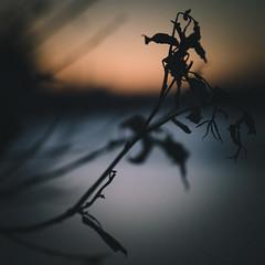 december nature (miemo) Tags: bokeh closeup dead dried dusk em5mkii europe evening finland helsinki minimalism nature olympus olympus60mmf28 omd sea sky sunset tervasaari winter