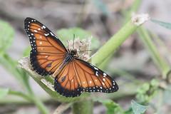 Such a Queen (Tim Melling) Tags: danaus gilippus queen butterfly timmelling brazil pantanal