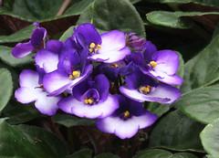 4-IMG_4767 (hemingwayfoto) Tags: berggartenhannover blhen blte blume flora floristik natur topfpflanze usambara usambaraveilchencitylinetrendymix veilchen zierpflanze zuchtform