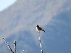 Vermilion Flycatcher - Arizona by SpeedyJR (SpeedyJR) Tags: 2016janicerodriguez sweetwaterwetlands tucsonaz saysphoebe phoebes birds wildlife nature tucsonarizona arizona speedyjr