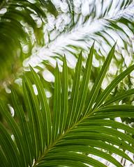 Palm bokeh (DannyBurkPhotography) Tags: bokeh southbend indiana greenhouse