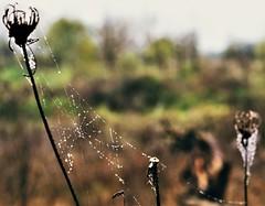 Delicate (PattyK.) Tags: ioannina giannena epirus whereilive web raindrops november autumn nikond3100 amateurphotographer ilovephotography greece griechenland hellad ellada balkans nature         waterdrops