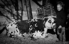 (martine_ferron) Tags: vache retraité paysan agriculteur éleveur