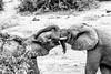 Kisses. (Nona P.) Tags: safari afriquedusud wildlife girafe éléphant sauvage brousse animal canon photography nonap