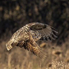 European Eagle Owl (Jonsfotos) Tags: