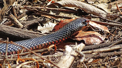 Pseudechis porphyriacus (Tony Markham) Tags: pseudechisporphyriacus redbelliedblacksnake elapid pseudechis coluber snake reptile lakenerrigorang