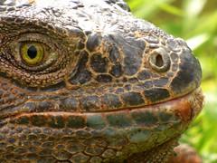 Iguana iguana (Luis G. Restrepo) Tags: p2200970 iguana greeniguana iguanaiguana reptil reptile lizard támesis antioquia colombia southamerica
