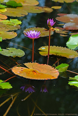 ANOTHER ONAM IS AROUND THE CORNER. WHERE ARE THE FLOWERS ?!! (GOPAN G. NAIR [ GOPS Creativ ]) Tags: flower water photography kerala lilly onam waterlilly gops gopan gopsorg gopangnair gopsphotography