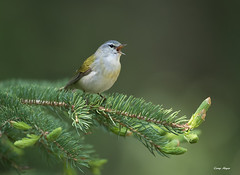 Tennessee-warbler (Corey Hayes) Tags: blue wild tree male green art yellow rockies grey singing song wildlife small overcast breeding colourful warbler jaspernationalpark songbird wildlifephotography coreyhayes