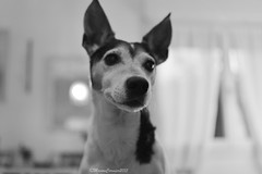 B&W (manon.cormierb) Tags: dog chien love animal photo sunday terrier amour jackrussell passion dimanche aot compagnon fidle
