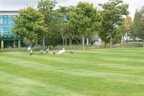 SWANS IN CITYWEST [SEPTEMBER 2015] REF-1085532