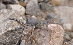 Greater Earless Lizard, Cophosaurus texanus (Dave Beaudette) Tags: arizona lizards millville cochisecounty cophosaurustexanus greaterearlesslizard