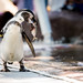 Penguin Eat Fish