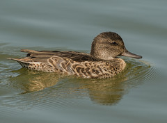 Green-winged Teal (Anas crecca) (fugle) Tags: duck greenwingedteal teal nevada waterfowl virginialake