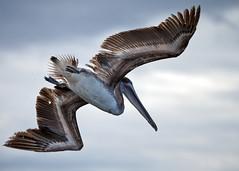 Galapagos-20140714-1634-BK2W3374-Edit (Swaranjeet) Tags: pelican pelicans galapagos ecuador bird largebirds july2014 canon fullframe 1dx eos1dx dslr sjs swaran swaranjeet swaranjeetsingh sjsvision sjsphotography swaranjeetphotography 2014 eos canoneos1dx 35mm ef pro 200400 canonef200400mm canonef200400mmf4lisusm14x singh photographer thane mumbai india indian