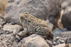 Woodhouse's Toad (lacey underall) Tags: southdakota amphibian frog toad badlands geology herp eocene badlandsnationalpark cretaceous oligocene bufonidae anuran woodhousestoad anaxyrus anaxyruswoodhousii
