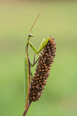 Mantis religiosa (Prajzner) Tags: morning macro nature mantis insect sigma naturallight prayingmantis manfrotto insecta sigma105mmmacro mantisreligiosa nikond7100 manfrottomt190xpro3