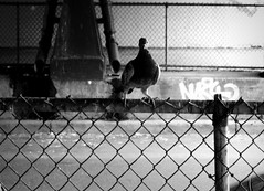 Portrait (Robert S. Photography) Tags: street nyc b autumn bw bird monochrome brooklyn canon fence pose subway pigeon overpass powershot 2015 iso160 elph160
