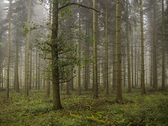 The Individual (Damian_Ward) Tags: wood morning trees mist misty fog forest woodland chilterns buckinghamshire bucks beech wendover astonhill thechilterns chilternhills wendoverwoods damianward ©damianward