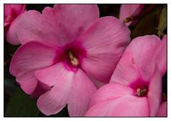 Pink Petals (Audrey A Jackson) Tags: charity pink flower nature garden petals fundraising walsall canon60d fourseasonsgarden 1001nightsmagiccity