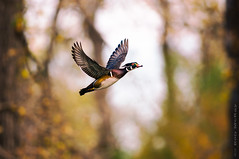 Fall Colours - Wood Duck In-flight