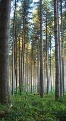 Sugar Pine Walk (~Jek~) Tags: geotagged australia newsouthwales aus laurelhill sugarpinewalk geo:lat=3560036459 geo:lon=14810180247