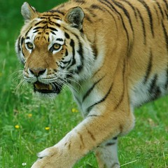 Amur Tiger, Longleat Safari Park (jim_2wilson) Tags: tiger captive bigcats longleatsafaripark sonya77 sony70400mmssmii