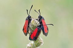 Zygaena purpuralis (Mascamit) Tags: macro natura viterbo farfalla lazio falena zygaena farfalle lepidottero purpuralis bassanoromano