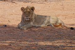Lions (tim ellis) Tags: holiday animal cat southafrica lion kalahari northerncape pantheraleo kgalagadi kgalagaditransfrontierpark transfrontierpark tweerivieren xauslodge raremammals