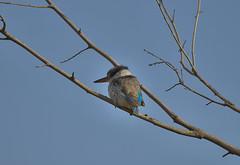 _DSC0852.  Savanneisfugl (Striped Kingfisher) (Berit Christophersen) Tags: travel kenya wildlife sony safari masaimara halcyonchelicuti stripedkingfisher sonyalpha sal70400g2 savanneisfugl