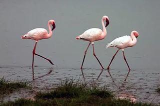 Нашёл 4 особи розового фламинго. Есть точные координаты. Помогите пристроить в руки орнитологов. #владбаринов #фламинго #бортовойжурналроссия