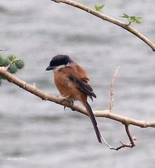 Long-tailed Shrike (upperwinskill) Tags: laniusschach